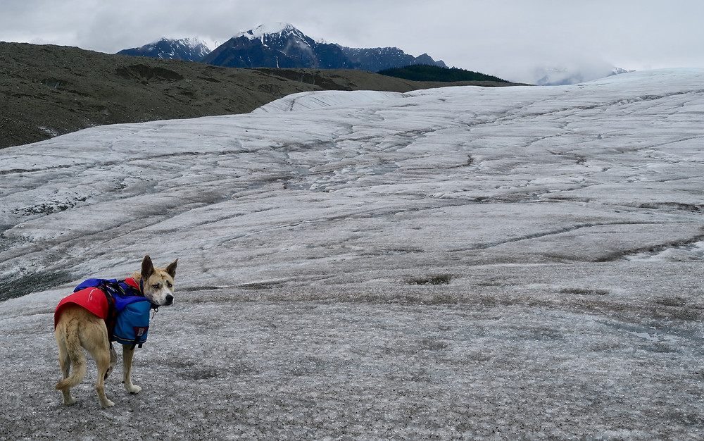 A dog in a red coat and bulging blue packs stands on an icy gray glacier and looks back at the camera.