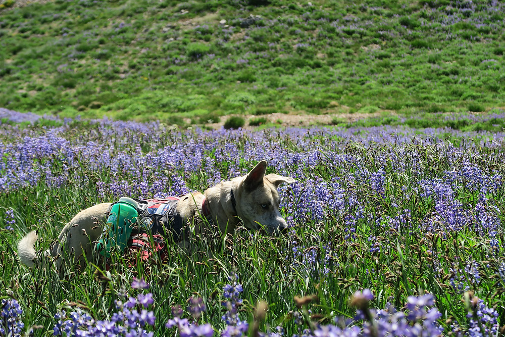 A blond dog is surrounded by purple flowers.