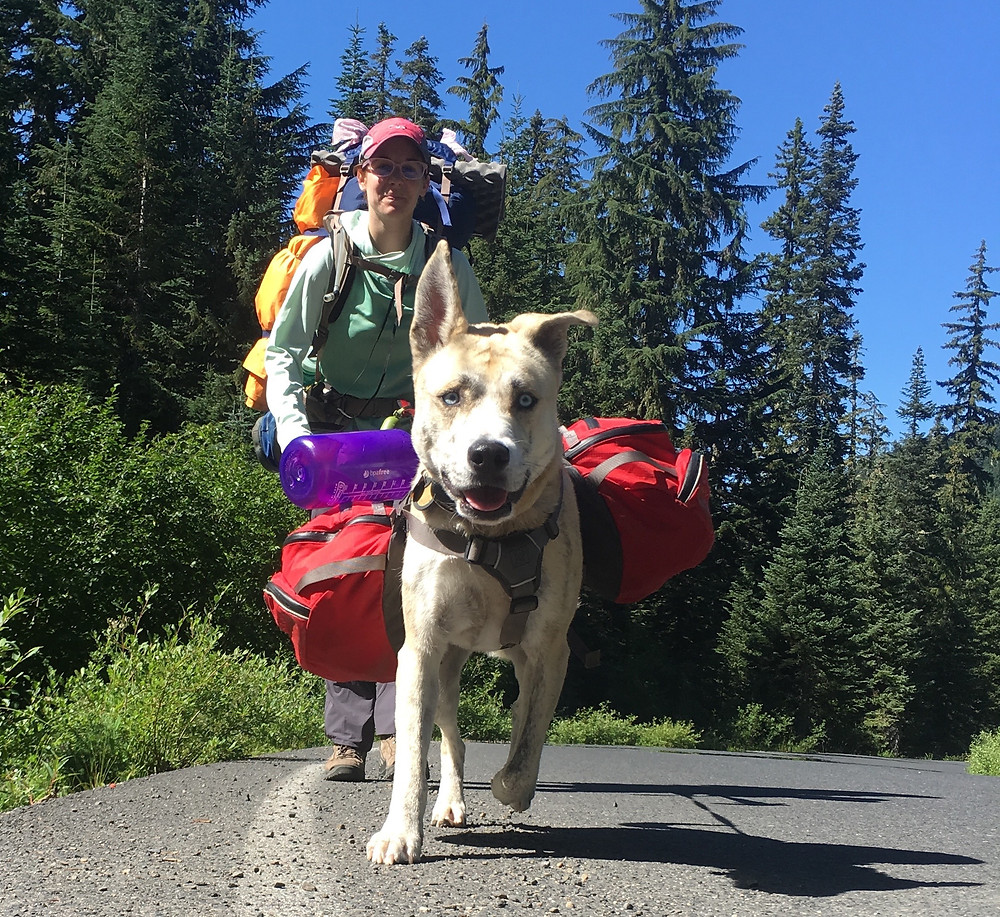 A blond dog walks at the edge of a road toward the camera with one ear up and one ear flopping and wearing a red pack. A young woman wearing a big pack walks behind the dog.