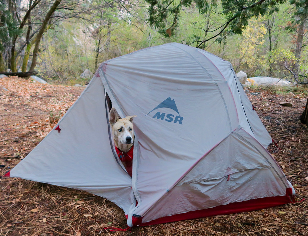A blond dog peeks her head out of a gray tent flap at a forest campsite
