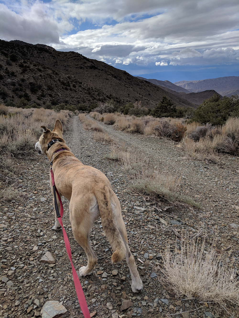 A blond dog stands on a wide rocky trail, a red leash leading to the camera. Photo by Tenley Lozano.