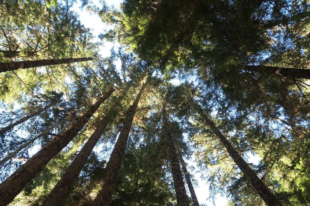 Looking up at the treetops of tall and thin pine trees, with patches of blue sky visible.