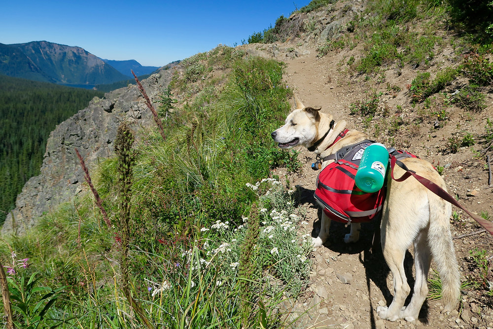 A blond dog wearing a red pack looks out over the edge of the dirt trail to a steep drop off into a pine forest.