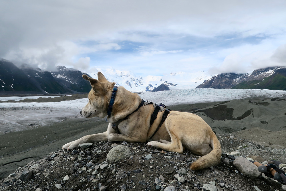 A blond brindle dog wearing a harness looks out from her ridge-line perch to an icy blue and rocky glacier.