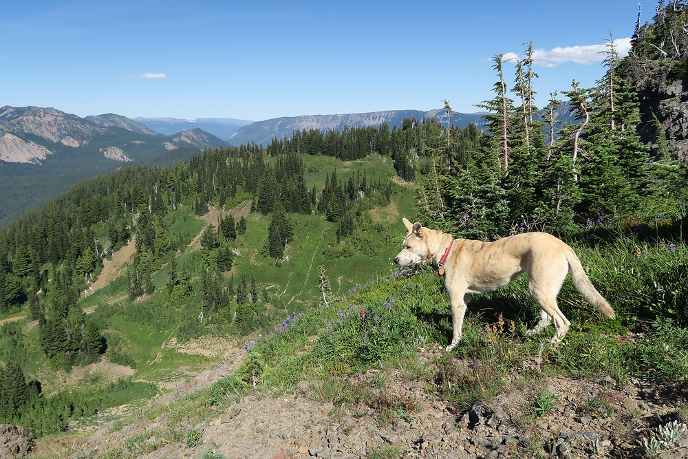 A blond dog stands look out over green mountains.