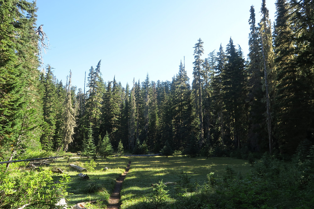 A thin stripe of dirt single-track trail passing through a small grassy meadow and into a pine forest in Southern Washington.