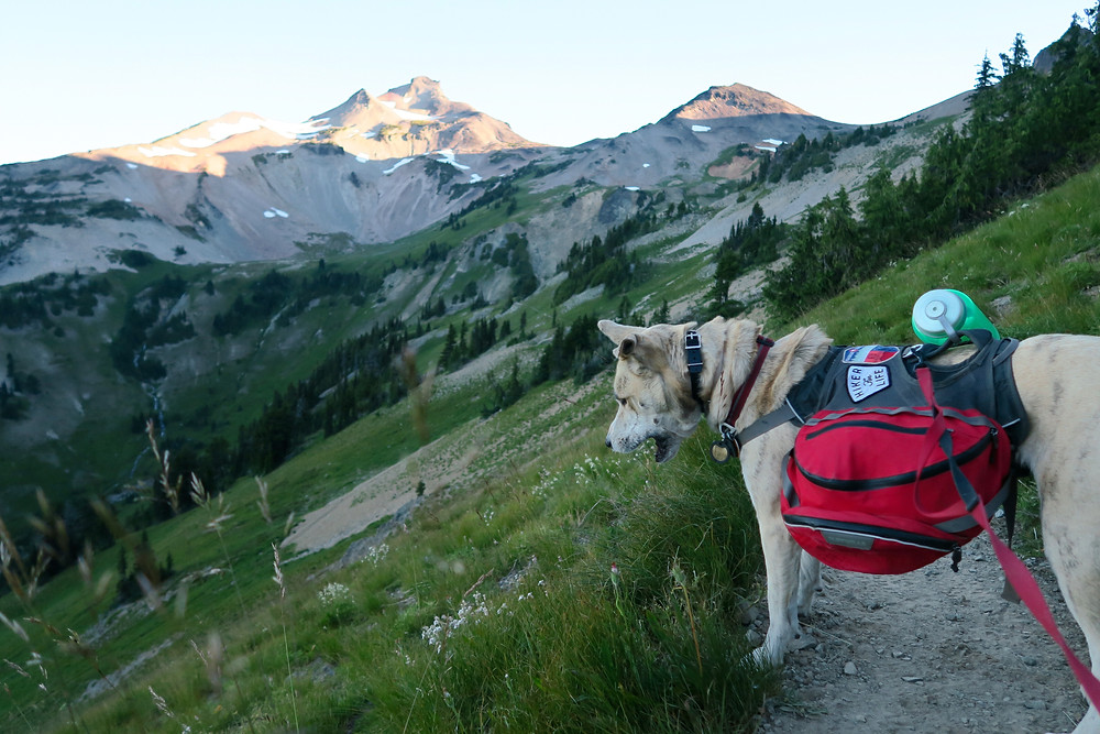 A blond dog wearing a red pack stands on a mountain trail surrounded by grass and wildflowers.