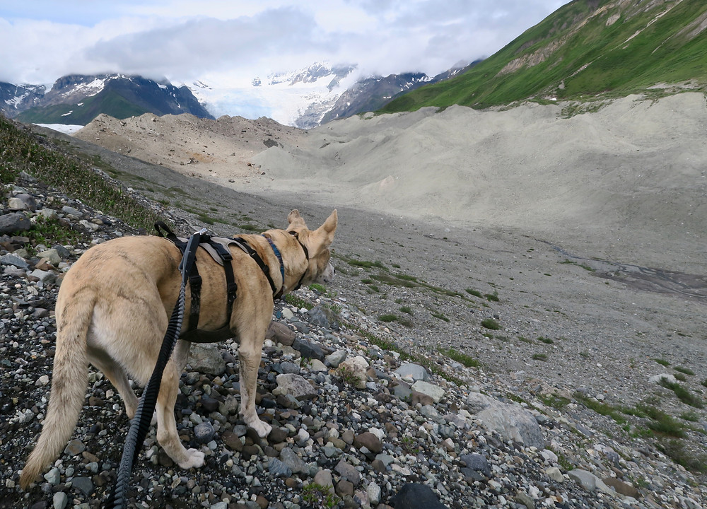 A blond brindle dog wearing a harness and leash looks out over rocky mounds, a blue icefall in the distance between mountains.