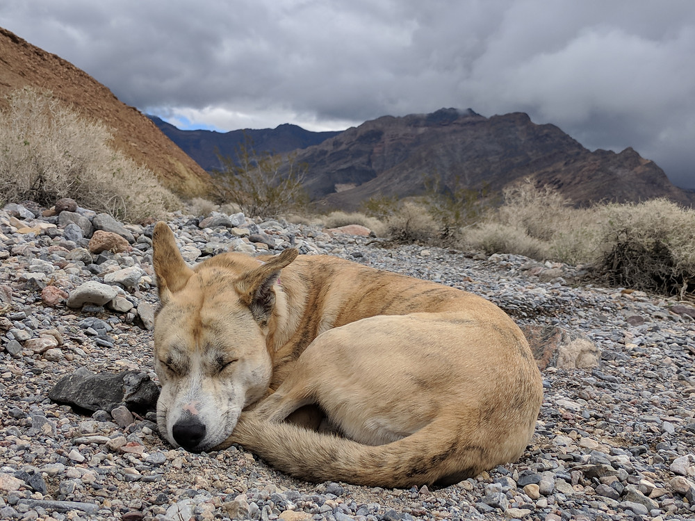 A husky-mix curled up sleeping in our rocky campsite with the Funeral Mountains and storm clouds in the background. Photo by Tenley Lozano.