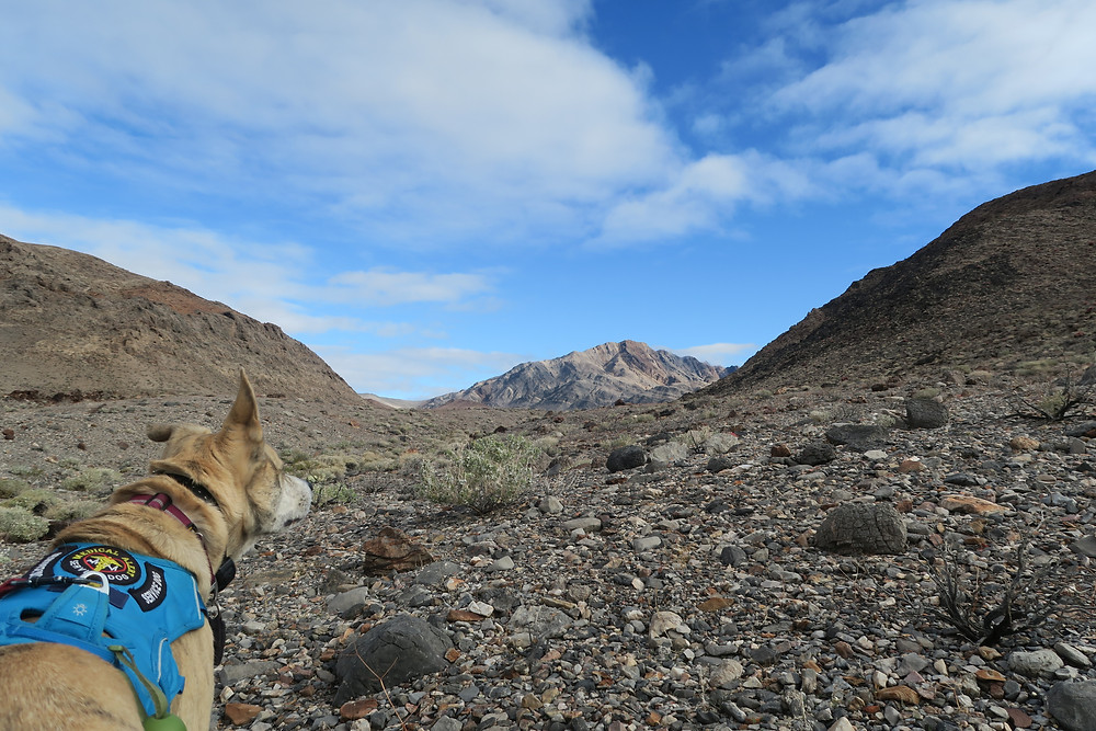 A blond dog looking off into the distance, standing on rocky ground.