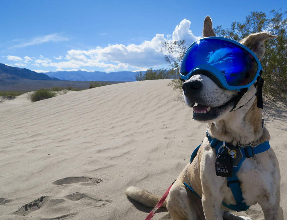 Elu the husky-mix smiles at the camera, wearing blue goggles and sitting on a sand dune. Photo by Tenley Lozano.