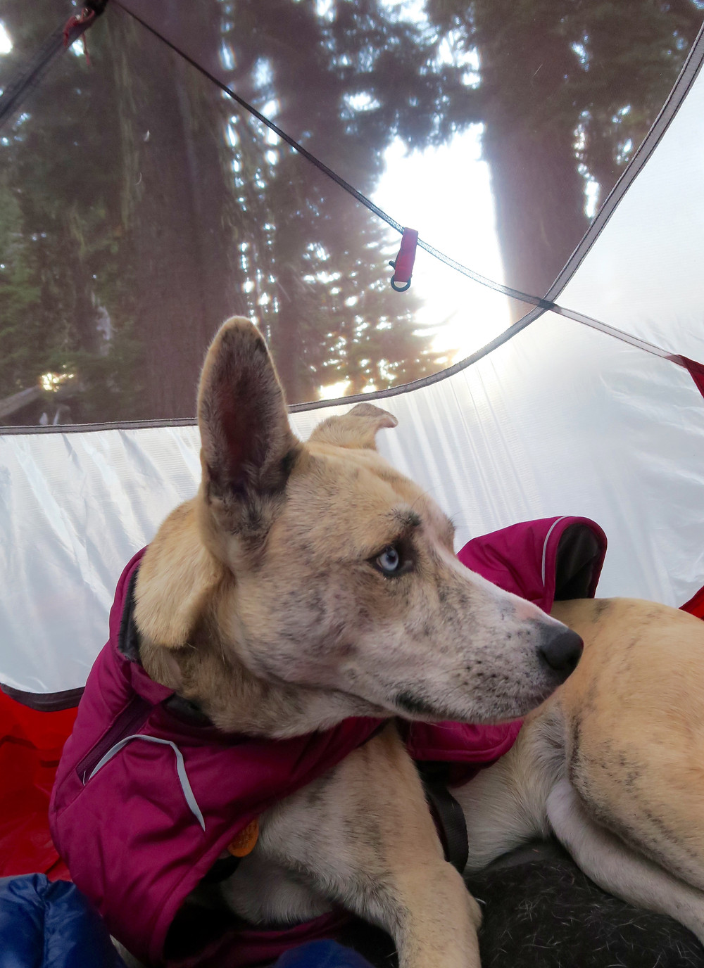 A dog wearing a purple coat sits in a camping tent with blurred pine trees in the background.
