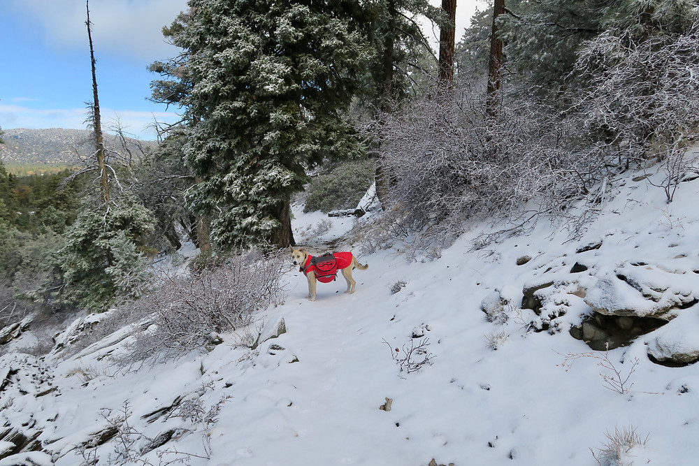 A medium-sized dog wearing a red jacket and bulging red pack stands on a snow covered trail surrounded by snow-dusted pines and conifers.
