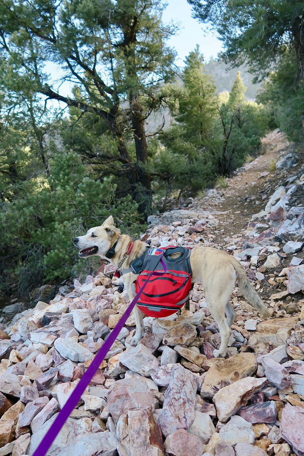 A blond dog wearing a red pack and purple leash stands on large red, pink, and white rocks covering the trail.