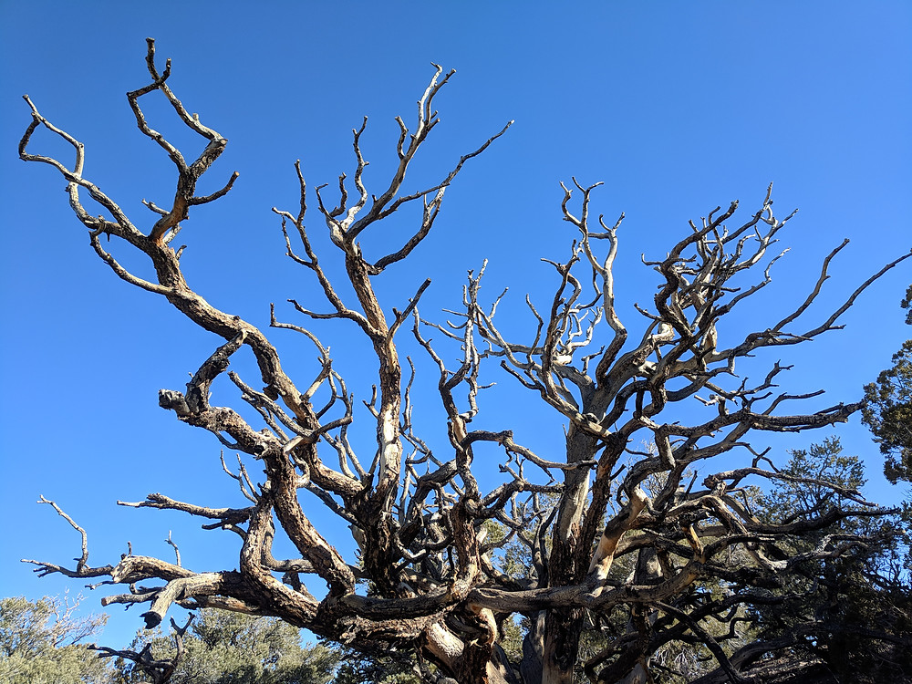 The scraggly bare arms of a dead piñon-pine reach up into a blue sky.