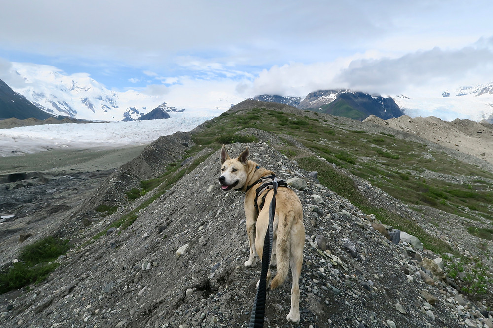 A blond brindle dog wearing a harness and leash looks over her shoulder at the camera, icy and rocky glaciers in the mid-distance and snowy mountains in the far distance.