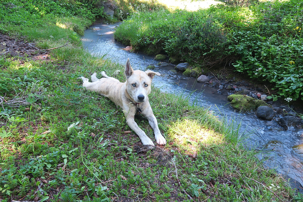 A blond dog lies stretched out on the mossy green ground next to a bright blue stream a couple feet wide.