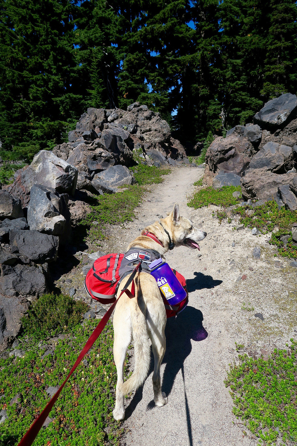 A dog wearing a pack stands on a sandy trail surrounded by lava rock boulders and pine trees