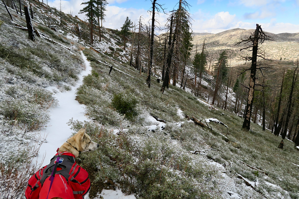 A blond dog wearing a red coat and red pack looks out over a snowy trail around small green vegitation and burnt trees standing upright and fallen over.