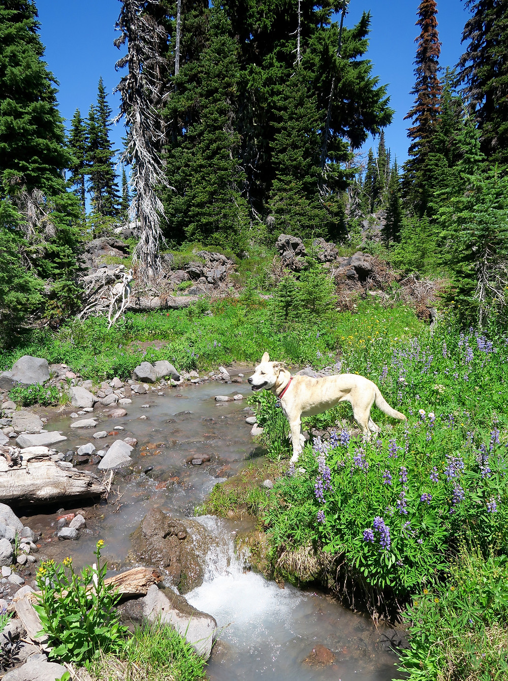 A blond dog stands in the sunshine at the edge of a light blue creek with wildflowers blooming around her and pine trees towering in the background.