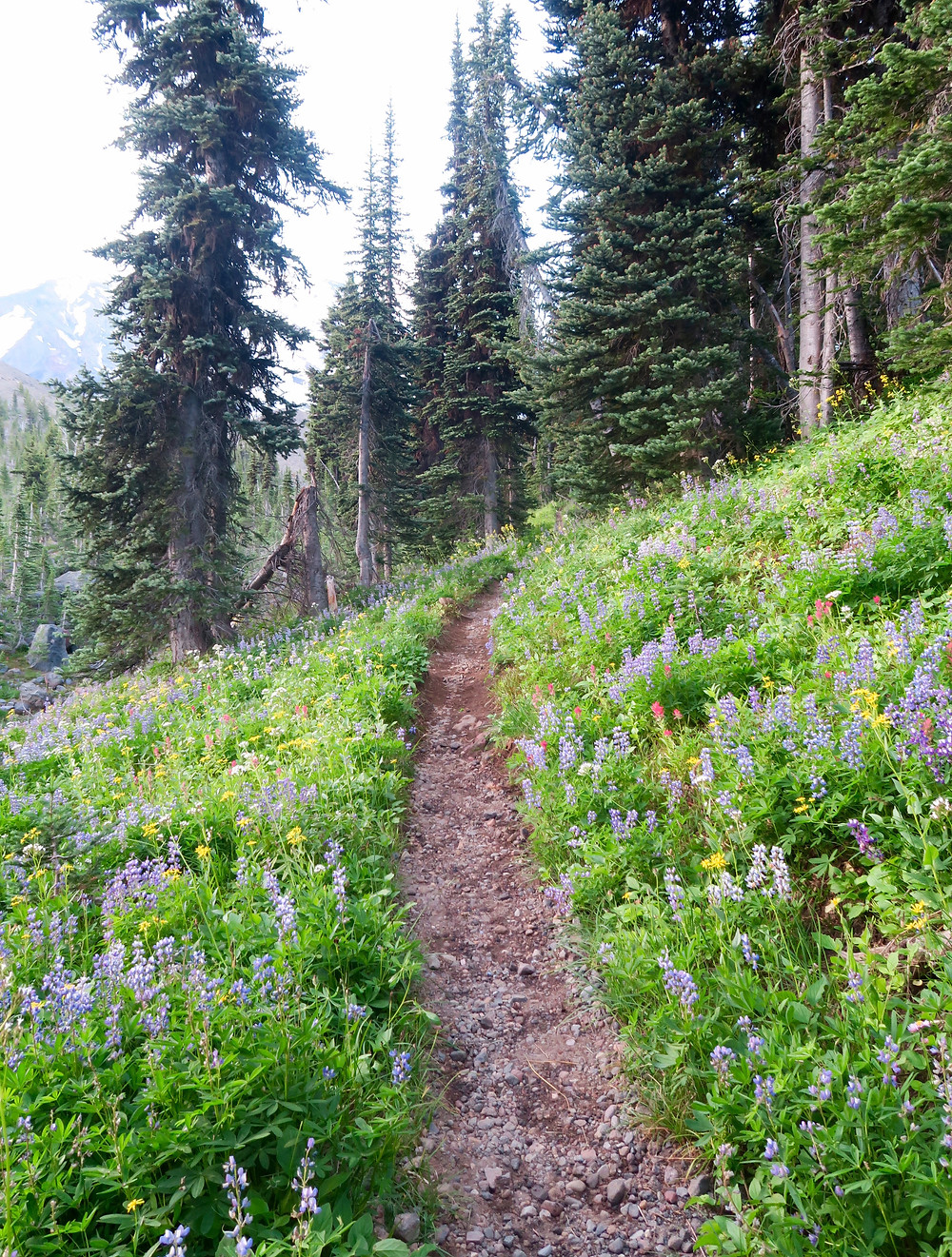 A thin brown trail is surrounded by bright green plants, flowering purple lupine, and yellow and red wildflowers. The trail leads into a coniferous forest.