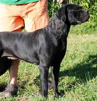 cane corso nero femmina