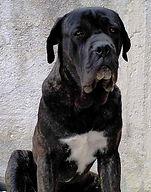 cane corso sicilia
