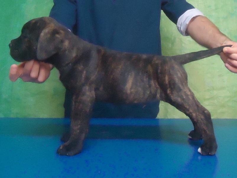 cucciolo cane corso tigrato