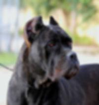 cane corso nero tigrato femmina