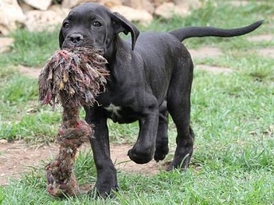 cane corso cucciolo