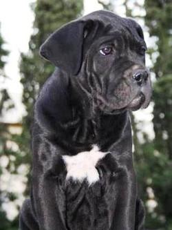 cucciolo cane corso nero