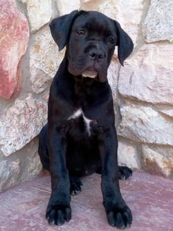 cucciola cane corso nero tigrato
