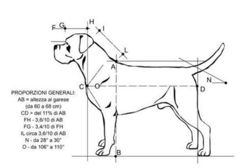 standard cane corso