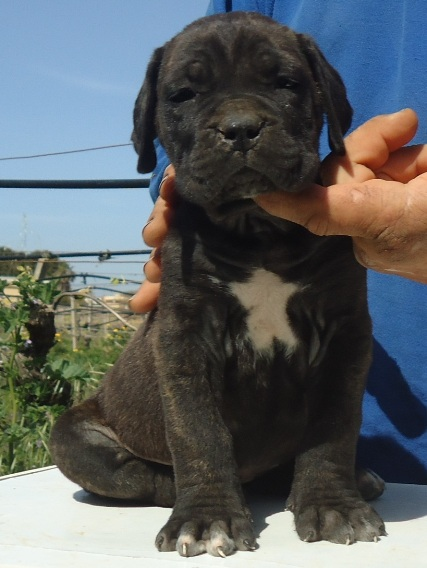 cucciolo cane corso nero tigrato
