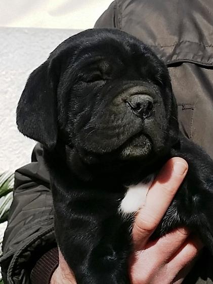cucciola cane corso nero