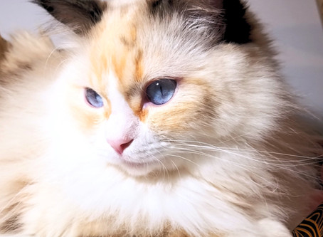 My Experience with a Ragdoll Cat's Personality