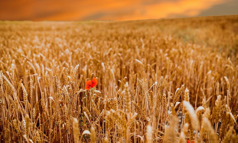 Barley Flower