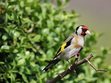 Goldfinch sounds...