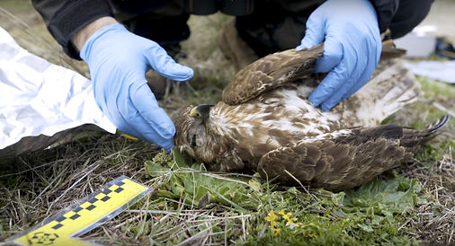 Poisoned buzzard