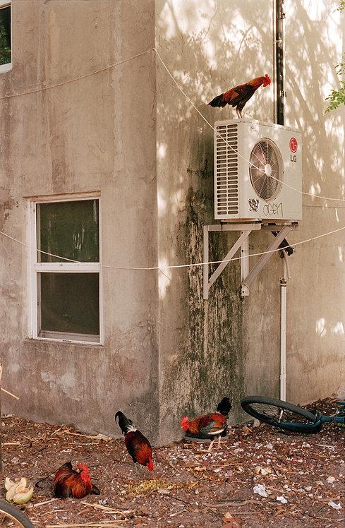 Chickens on a Fan
