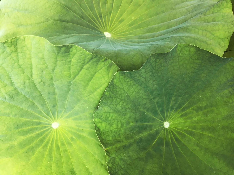 Lotus-Blätter