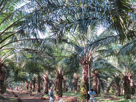 Can palm oil help improve the environment?