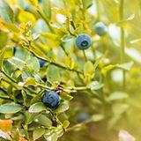 blueberries-4423666_1920.jpg