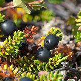 crowberry.jpg