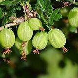 gooseberry-3445482_1280.jpg