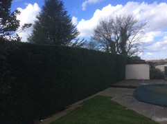Hedge Reduction West Malling 2.jpg