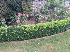 box hedge maintenance.jpg