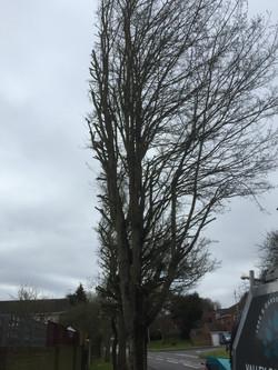 Tree cut back to garden boundary