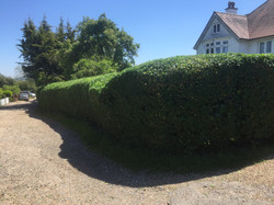 Finished Hedge Shaping