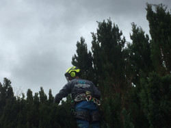 Conifer Hedge Reduction